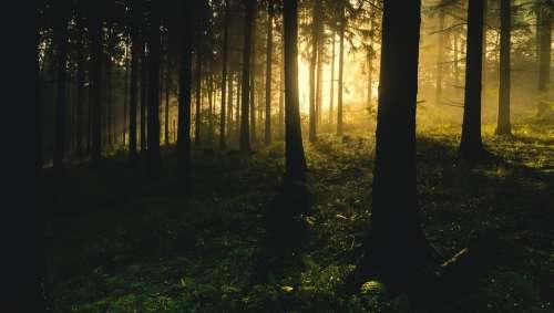 Backlit Conifers Dark Eerie Fir Trees Hazy