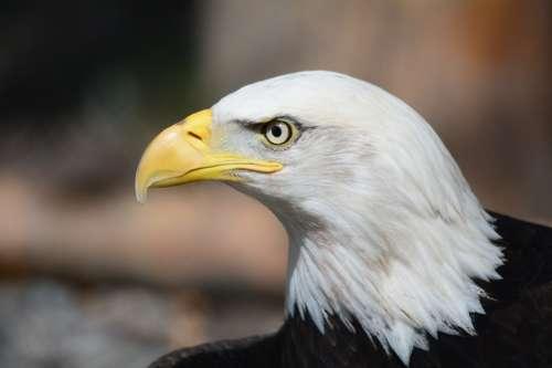 Bald Eagle Eagle Raptor Eagles Fly Bird Of Prey