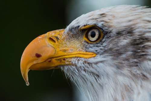 Bald Eagle Haliaeetus Leucocephalus Adler Raptor