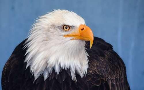 Bald Eagle Eagle Raptor Bird Animal