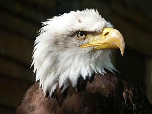 Bald Eagle Eagle Raptor Beak Feathers Animal