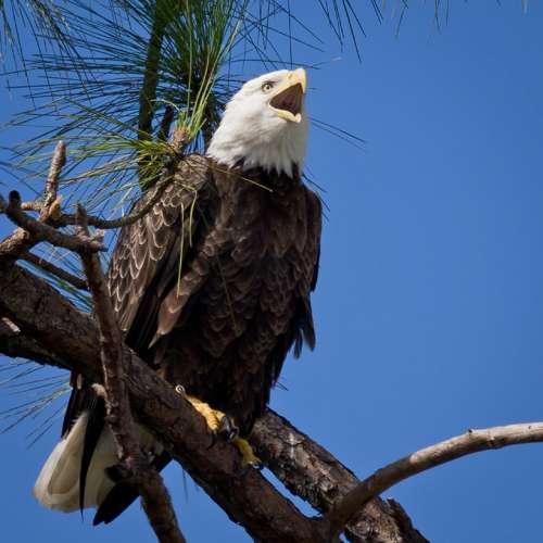 Bald Eagle Raptor Bird Adult Perched Nature