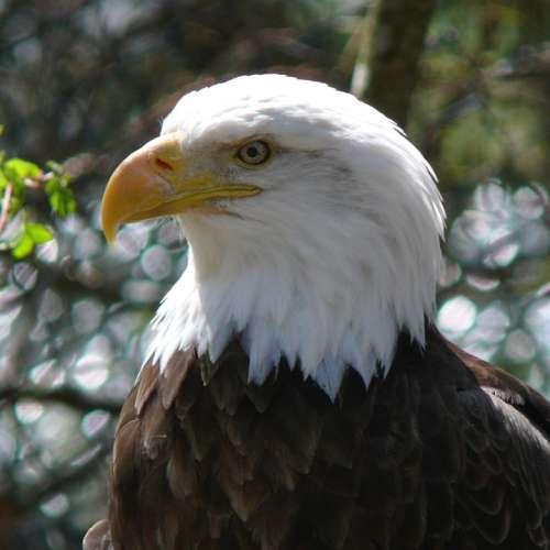 Bald Eagle Bird Adult Perched Nature Wildlife