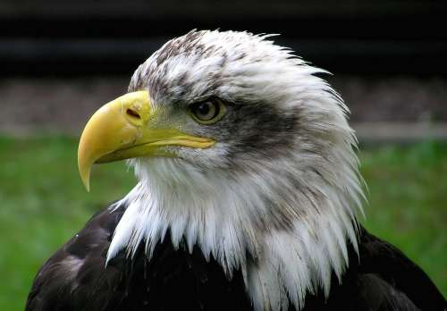 Bald Eagle Adler Raptor Bird Coat Of Arms Of Bird