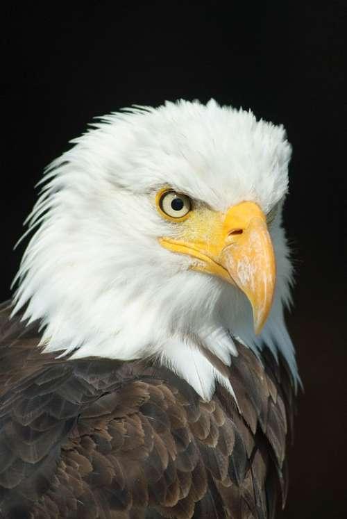 Bald Eagle Adler Bird Of Prey Raptor Animal Bill