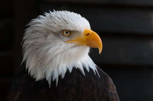 Bald Eagles Bald Eagle Bird Of Prey Adler Raptor