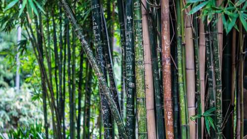 Bamboo Tall Trees Plants Flora Thick Dense Green