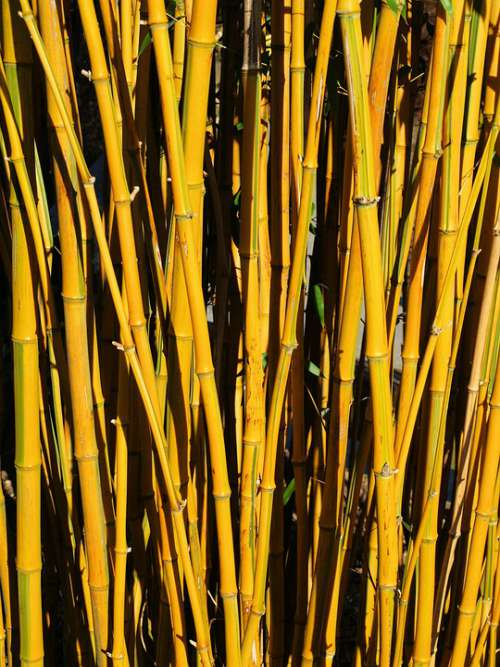 Bamboo Thicket Yellow Plant Nature Autumn