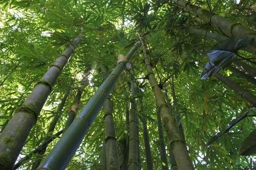 Bamboo Bamboo Forest Hawaii Bamboo Nature Green