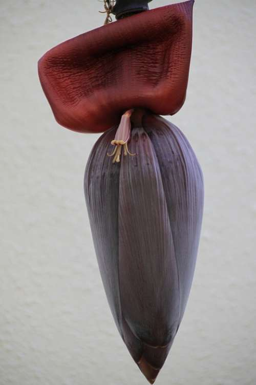 Banana Flower Fruit Tropical Plant Exotic