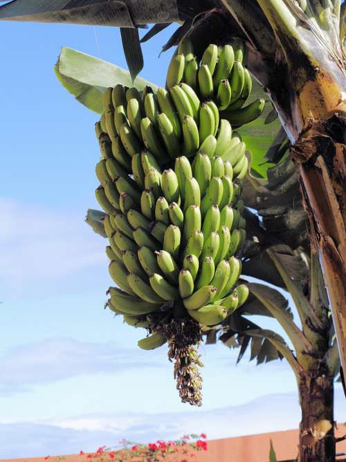 Bananas Green Unripe Food Tropical Nutrition