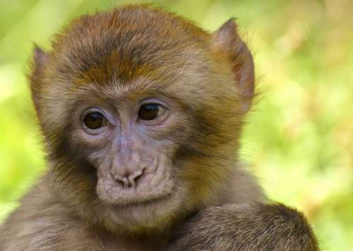 Barbary Ape Monkey Mammal Animals Primates