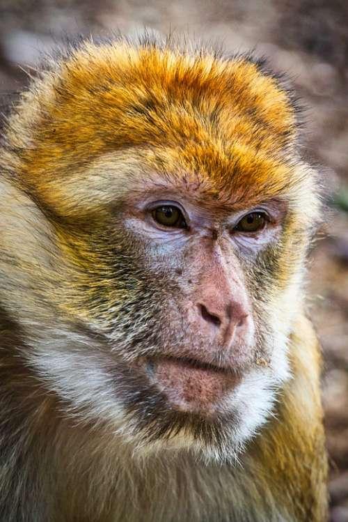 Barbary Ape Monkey Mahogany Animal Mammal Primates