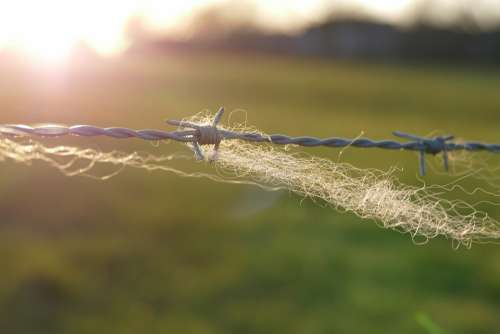 Barbed Wire Fence Wool Pasture Meadow Backlighting