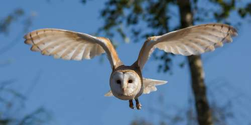 Barn Owl Bird Owl Nature Wildlife Prey Wings