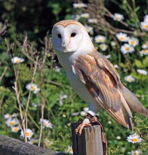 Barn Owl Owl Bird Animal Wildlife Nature Portrait
