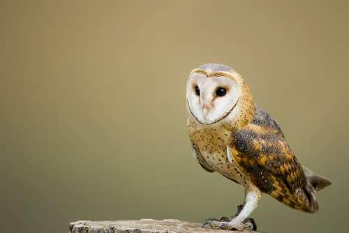 Barn Owl Perched Tree Stump Owl Avian Bird