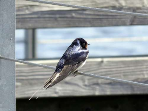 Barn Swallow Bird Schwalbe Swallows Animal Feather