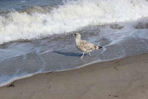 Beach Mew Gull Seevogel Water Wave Foam