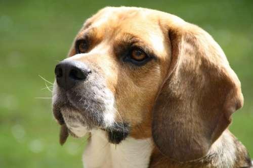 Beagle Dog Pet Best Buddy Dogs Wedding Close Up