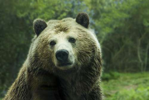 Bear Grizzly Bear Grizzly Brown Animal Nature