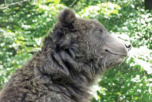 Bear Profile Green Brown Head Animal Mammal