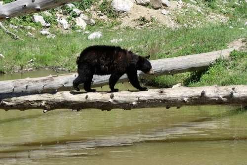 Bear Cub River Bear Wild