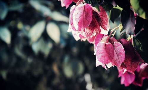Beautiful Bougainvilleas Flower Close-Up Color