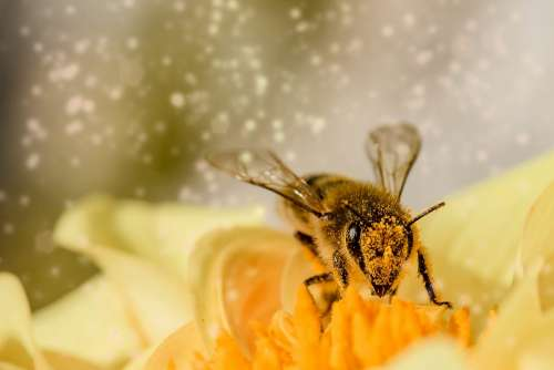 Bee Insect Animal Hymenoptera Blossom Bloom