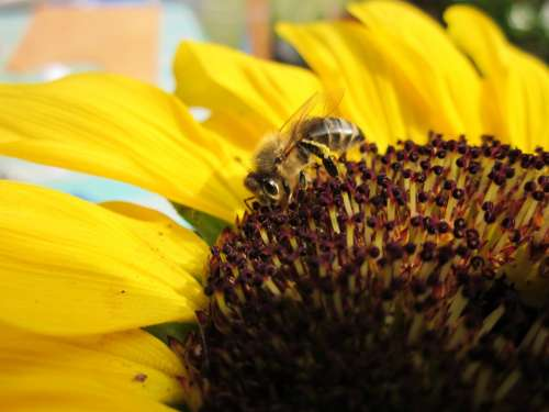 Bee Sunflower Summer Close Up Nature Bright
