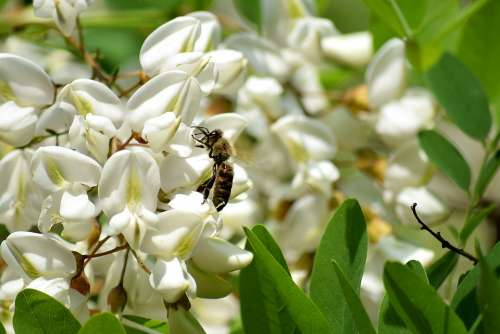 Bee Black Locust Flower Honey Bees Insect Pollen