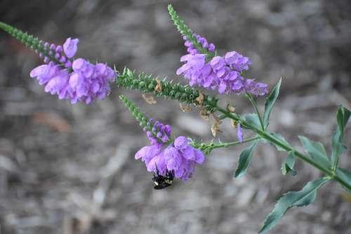 Bee Flower Pollen Bloom Garden Spring Lavender