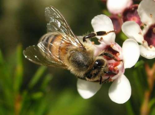 Bee Flower Bloom Macro Pollen Garden