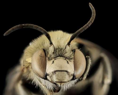 Bee Anthophora Montana Macro Pollinator Bug Insect