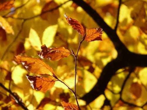 Beech Fagus Sylvatica Fagus Deciduous Tree