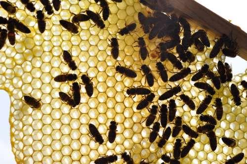 Bees Honeycomb Honey