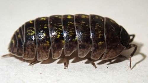 Beetle Slater Wood Louse Garden Pest Nature