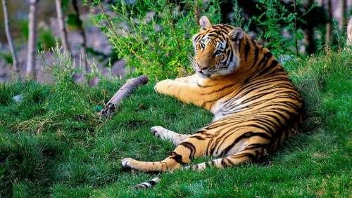 Bengal Tiger Tiger Wildlife Animal Wild Mammal
