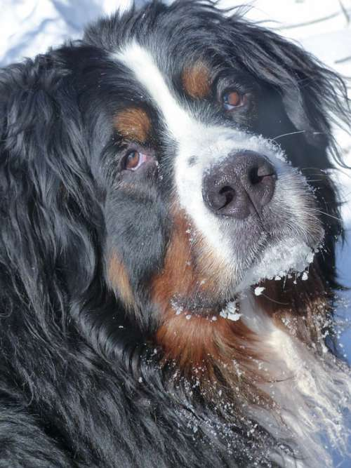 Bernese Mountain Dog Pet Animal Mammal Canine