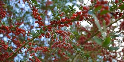 Berries Red Berries Nature Bush Berry