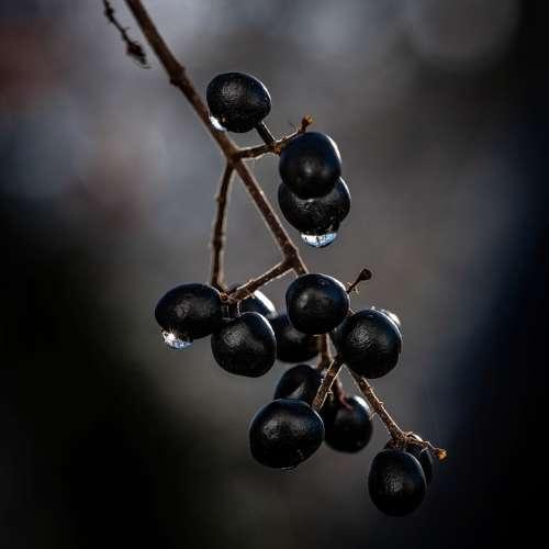 Berries Black Macro Drip