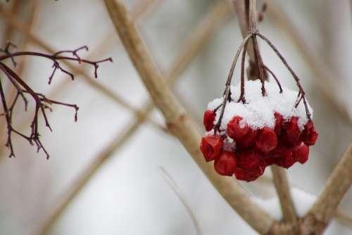Berries Red Winter Branch Snow Plant Season