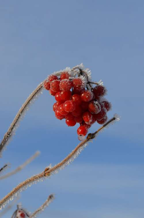 Berries Bush Ice Frost Cold Nature Winter