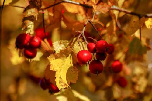 Berry Red Yellow Autumn Fruit Ripe Nature Tree