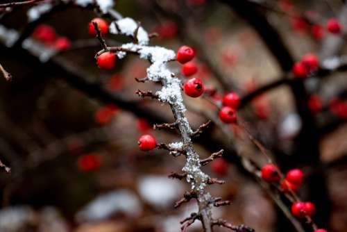 Berry Winter Snow Red Tree Nature Bush Sprig
