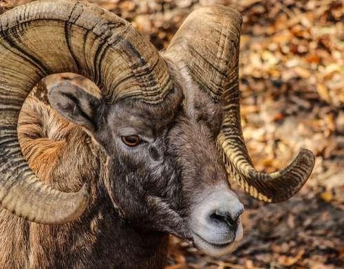 Bighorn Ram Male Horns Bighorn Sheep Animal