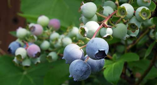 Bilberry American Fruit Closeup Nature Garden Bush