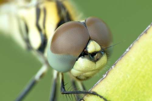 Biology Dragonfly Compound Eyes Insect Eye