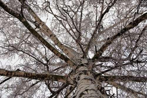 Birch Crown Tree Branches