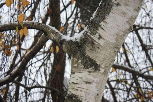 Birch Tree Branch Leaf Autumn Fall Winter Snow